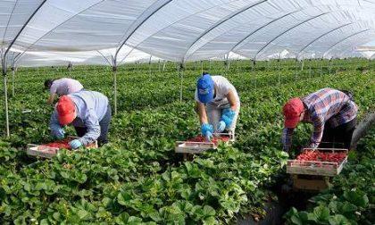 Braccia rubate all'agricoltura? Il Veneto arruola disoccupati