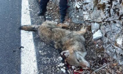 Investita una lupa a Sovramonte alle porte del Parco Nazionale Dolomiti Bellunesi