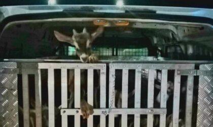 Trasporto illecito di animali vivi: fermato un furgone con 20 capretti ammassati nella gabbia metallica