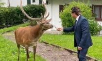 Il video del sindaco che esce di casa, trova un cervo in giardino ed è subito amicizia