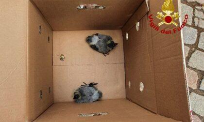 Due piccioni rimangono impigliati in un tetto, intervengono i Vigili del Fuoco