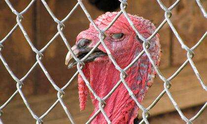 Allarme influenza aviaria: due focolai in pochi giorni, due allevamenti di tacchini saranno abbattuti